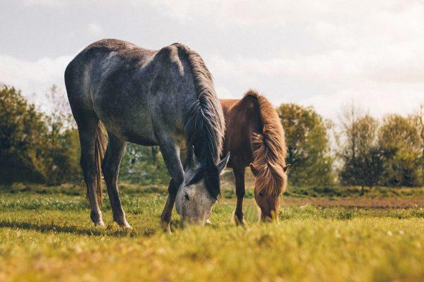 Le surpoids chez le cheval : conséquences, risques et moyens d'y remédier