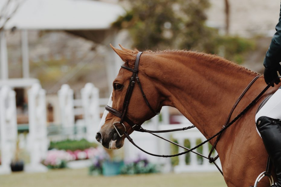 animal-equestrian-equine-1125062